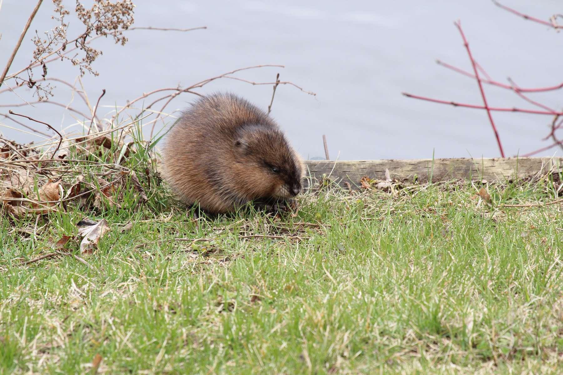 Rat musqué (Ondatra zibethicus)