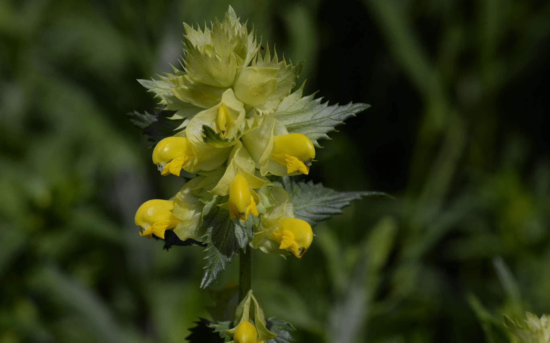 Rhinanthe à grandes fleurs (Crédits: PhotoPhoto33 - Flickr)