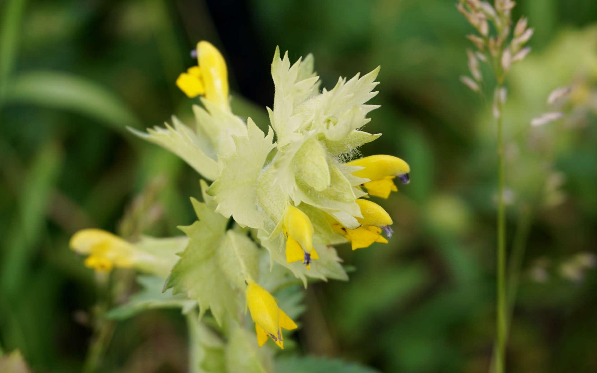Rhinanthe velu (Crédits: silberbeeren - Flickr)