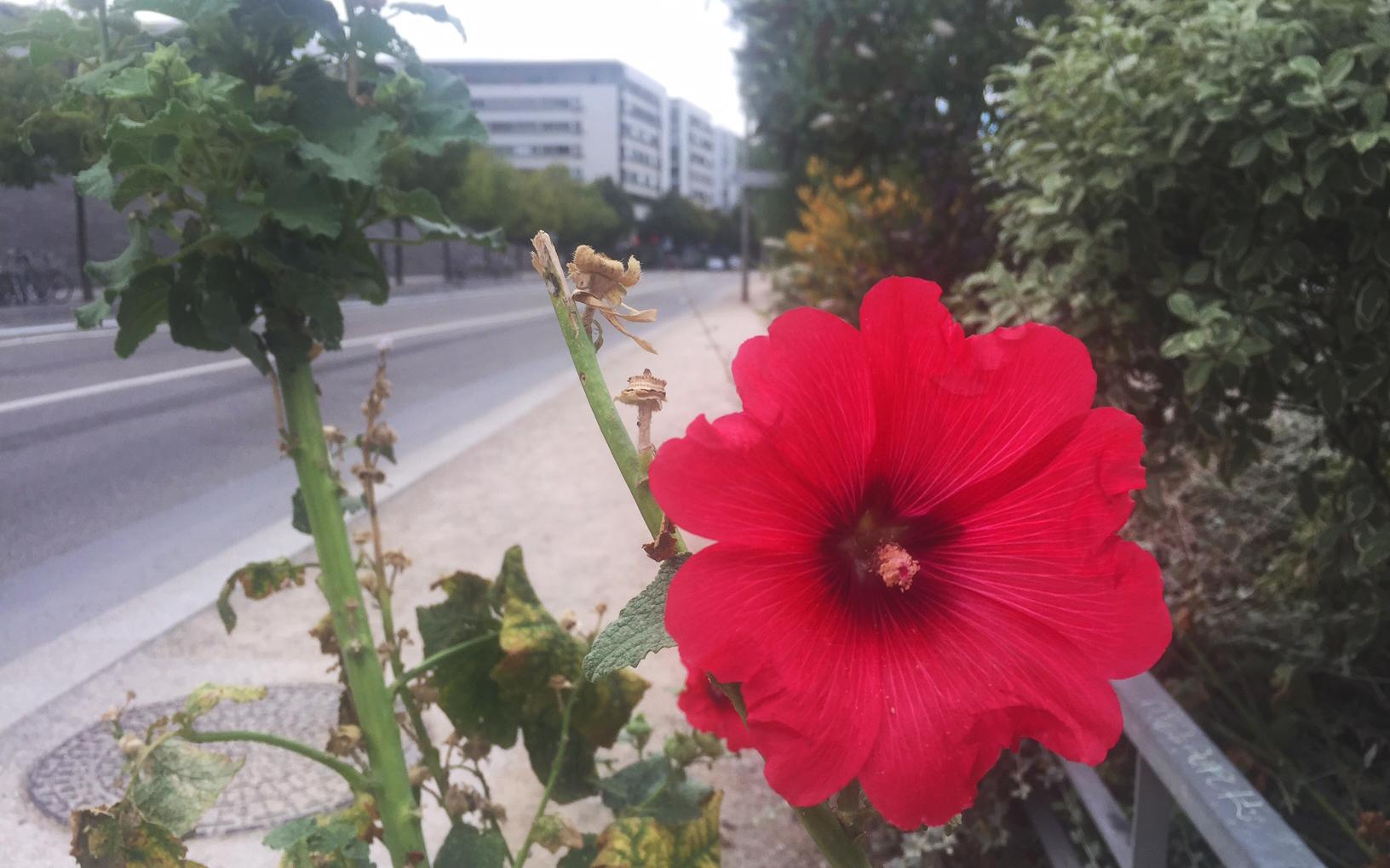 Rose trémière (Crédits : Olivier Rovellotti)