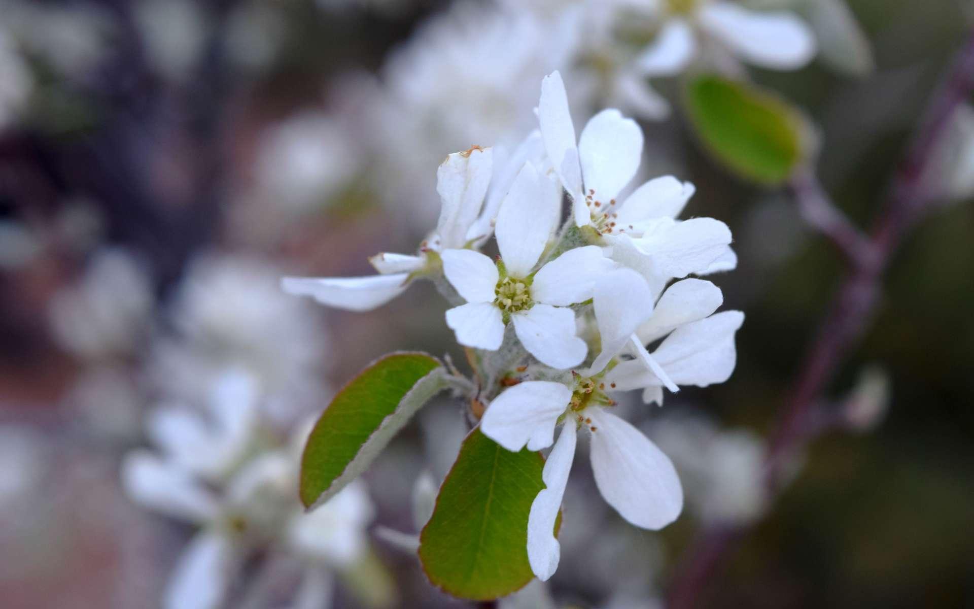 Fleurs d'Amélanchier (Crédits : Sabine Meneut)