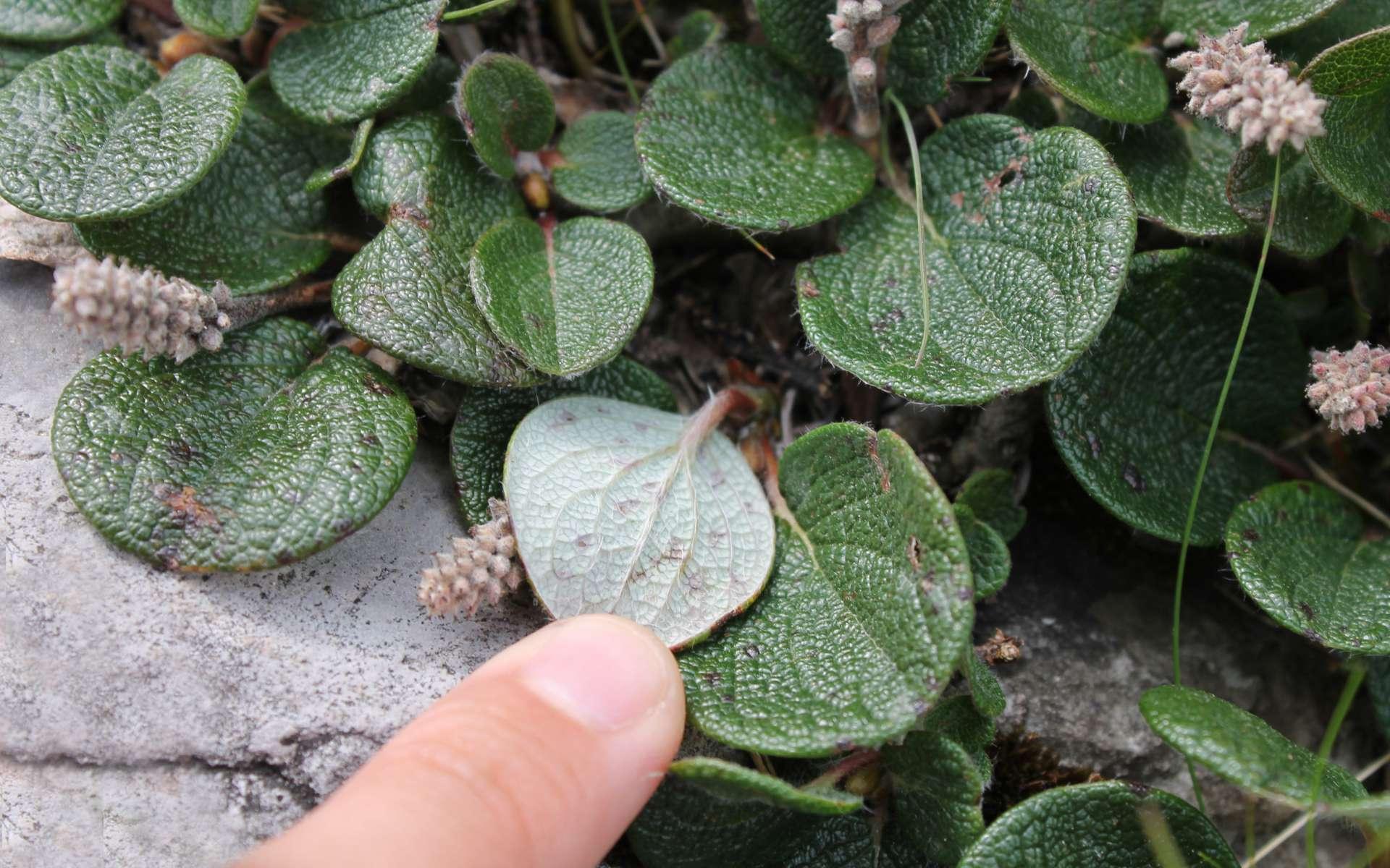 Saule à feuilles réticulées (Crédits : Léa Charbonnier)