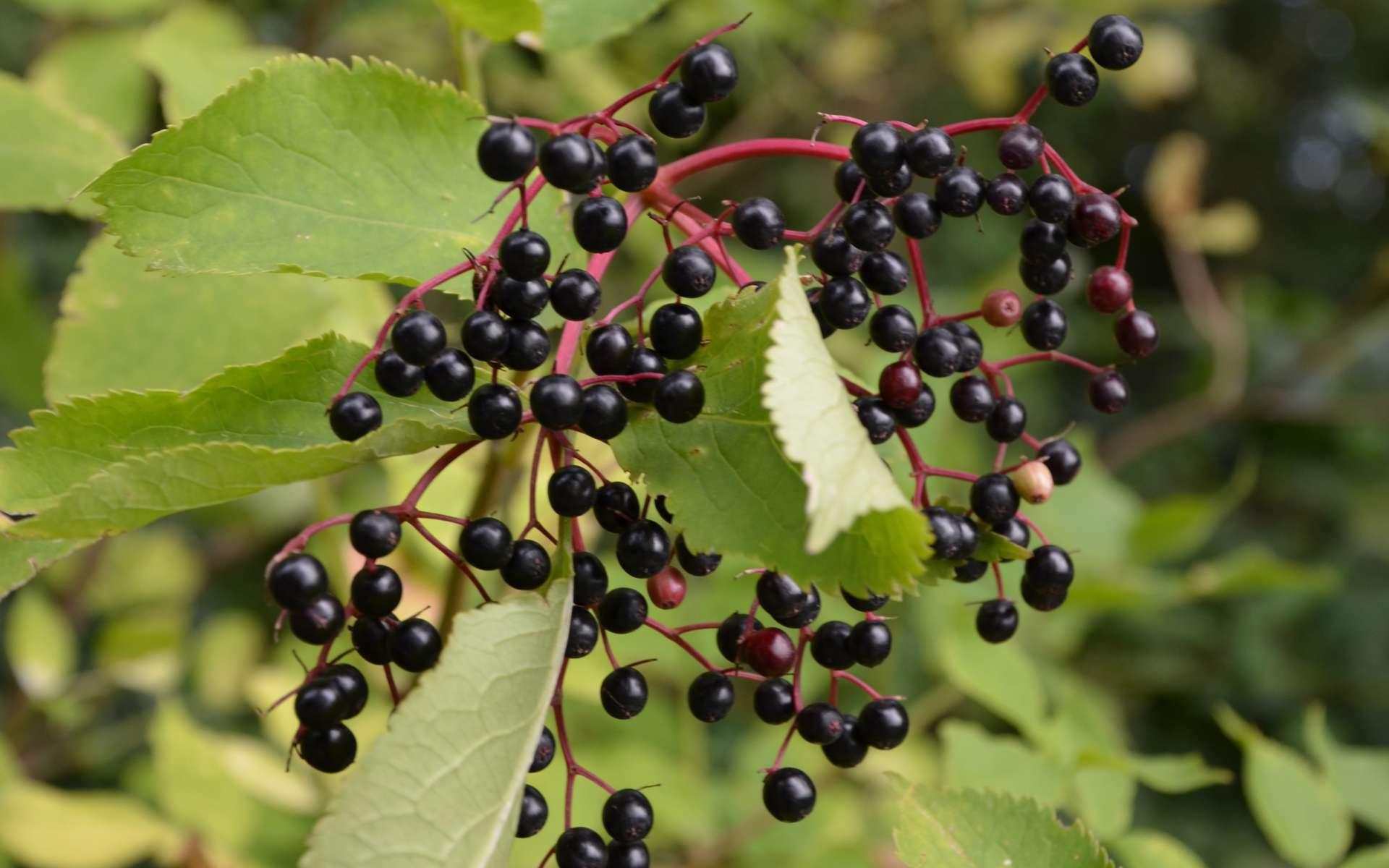 Sureau noir - fruits (Crédits : Benoît Toussaint)