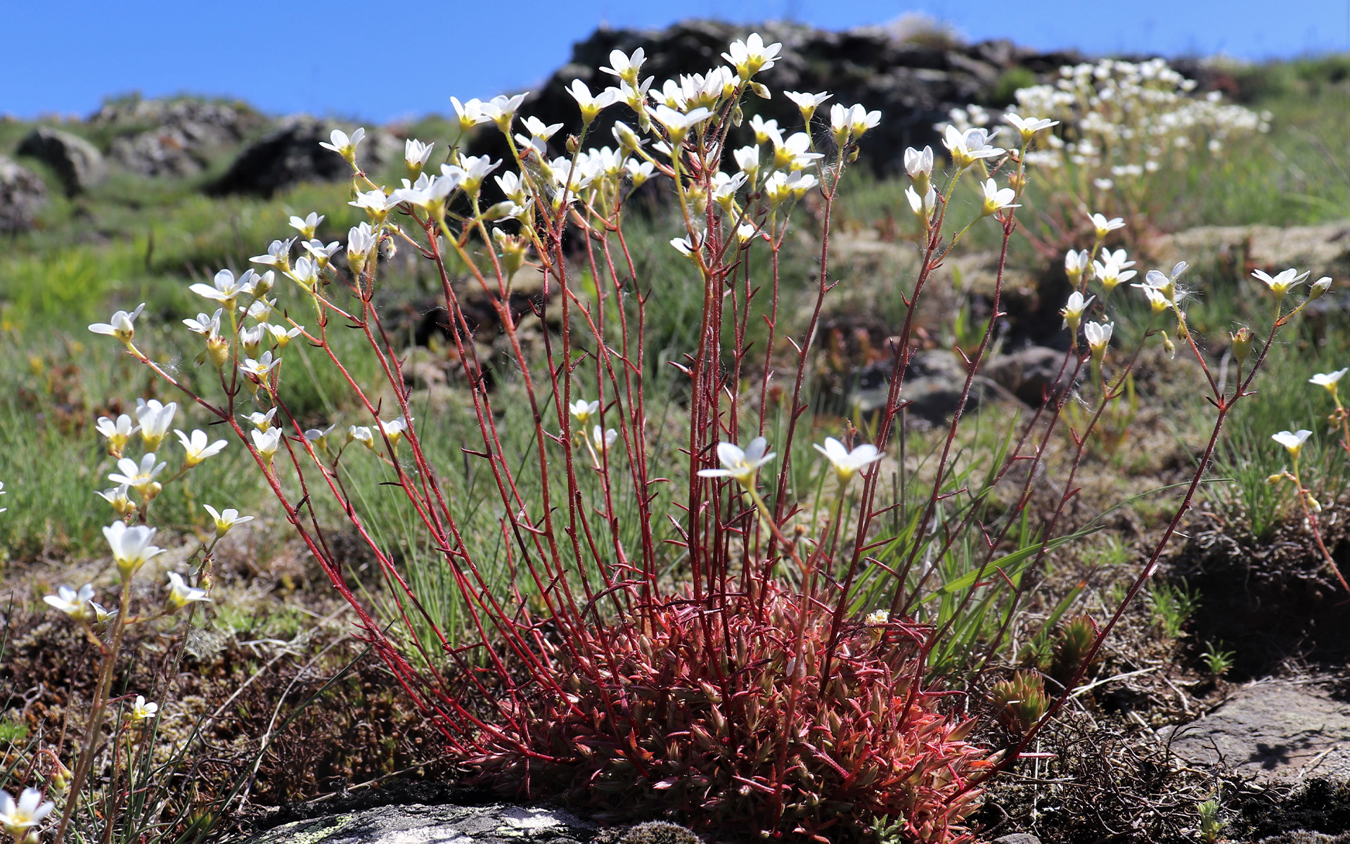Saxifrage continentale (Crédit : L.Azzolina)