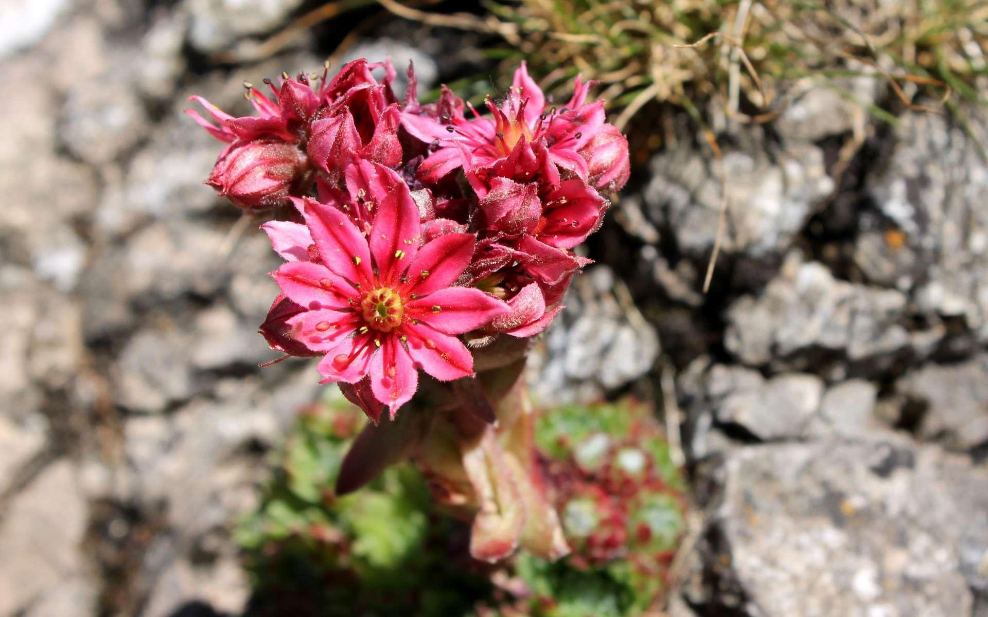Joubarbe aranéeuse - fleurs (Crédits : Léa Charbonnier)