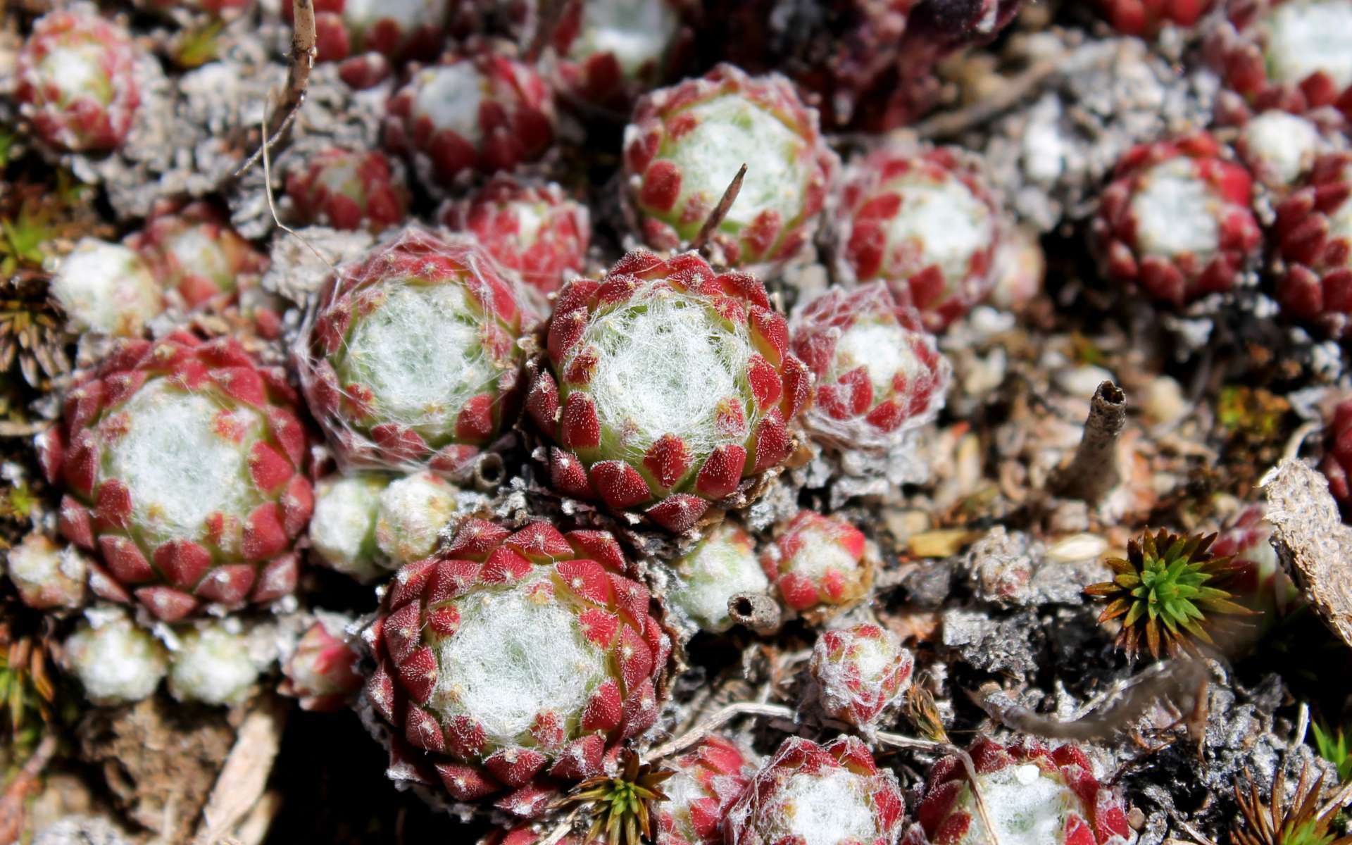 Joubarbe aranéeuse - rosettes de feuilles avec poils en toile d'araignée (Crédits : Léa Charbonnier)