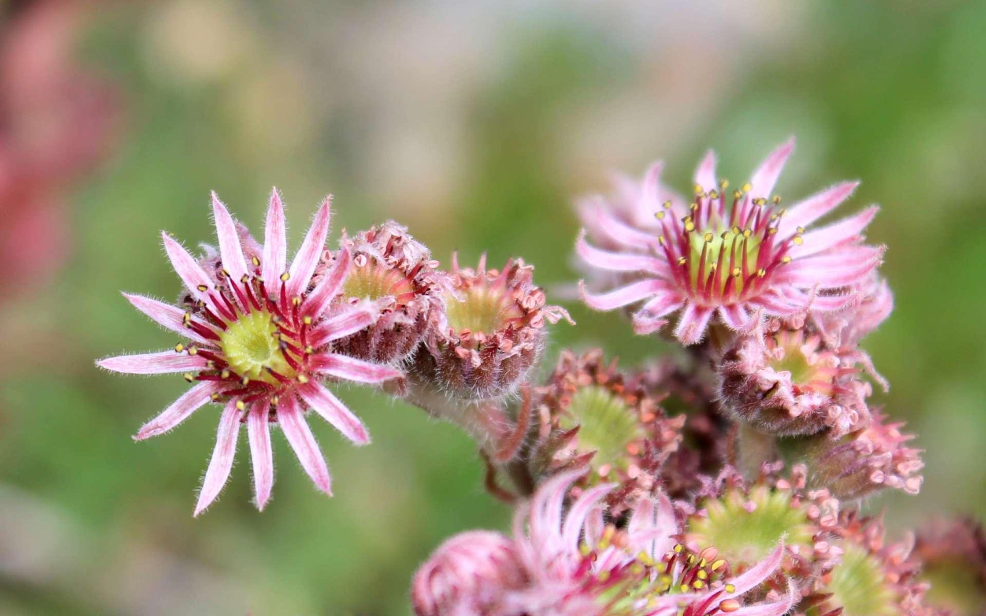 Joubarbe des toits - fleurs (Crédits : Léa Charbonnier)