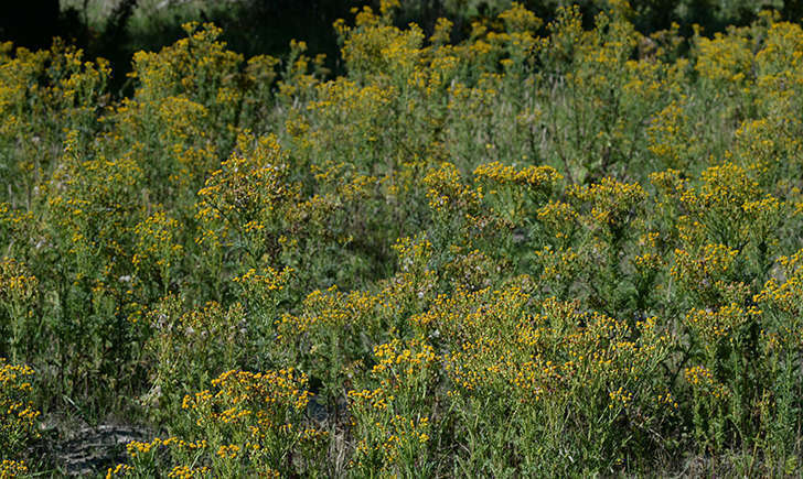 Séneçon jacobée (Nature Photos - flickr)