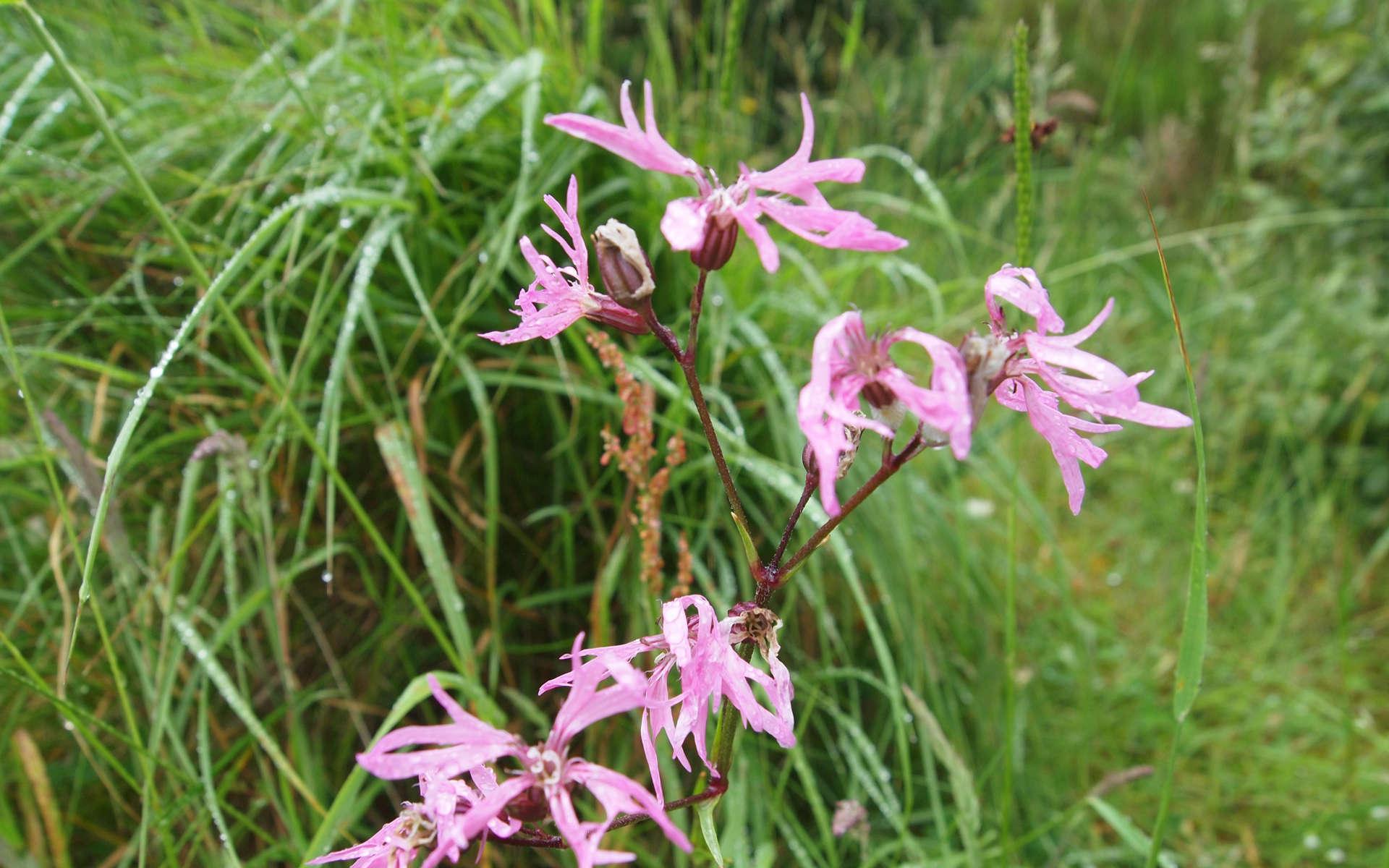 Silène fleur de coucou (Crédits: Lindy Buckley - Flickr)
