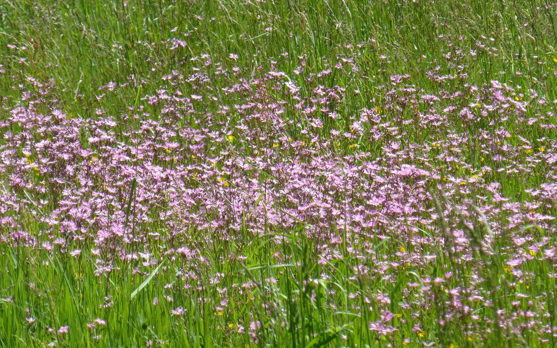 Silène fleur de coucou (Crédits: Nociveglia - Flickr)