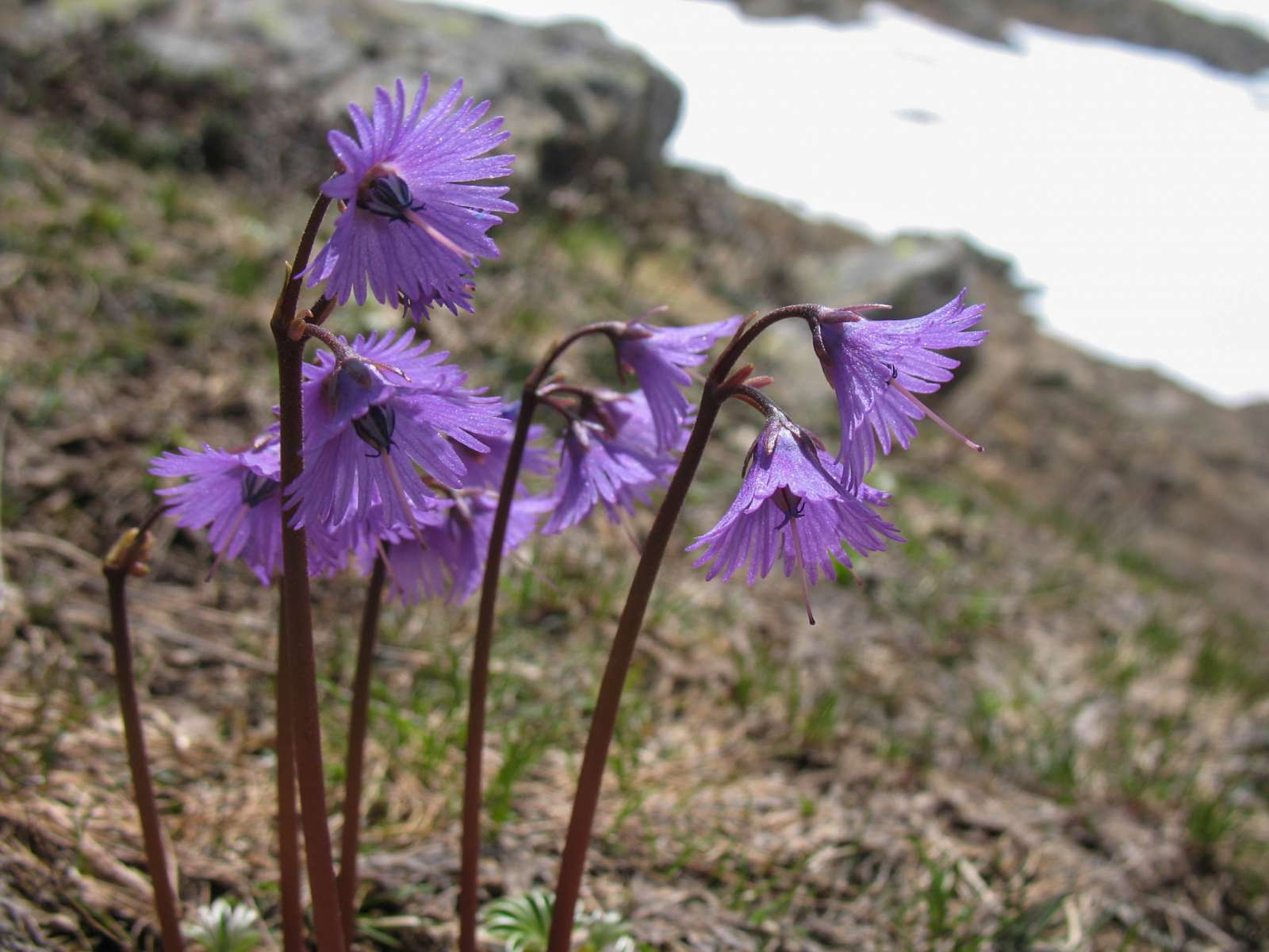 Soldanelle des Alpes (Crédits: Meijeternelle - Flickr)