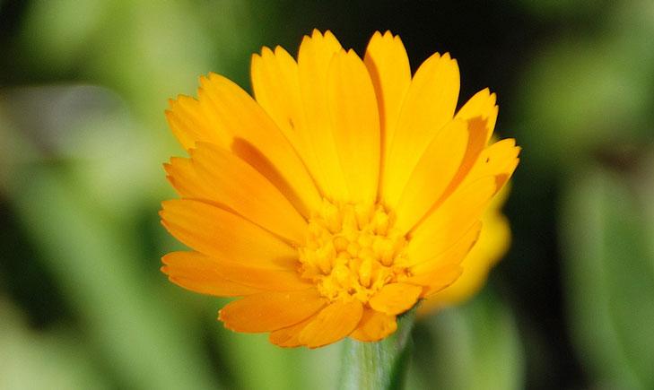 Calendula arvensis (crédit: Ishaip)