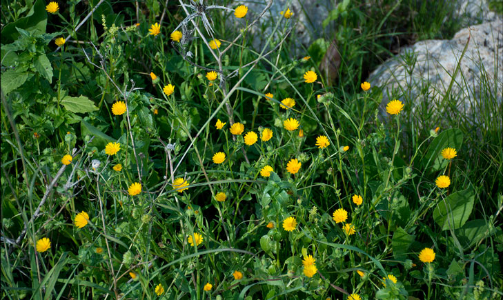 Calendula arvensis (crédit: Zachi Evenor)
