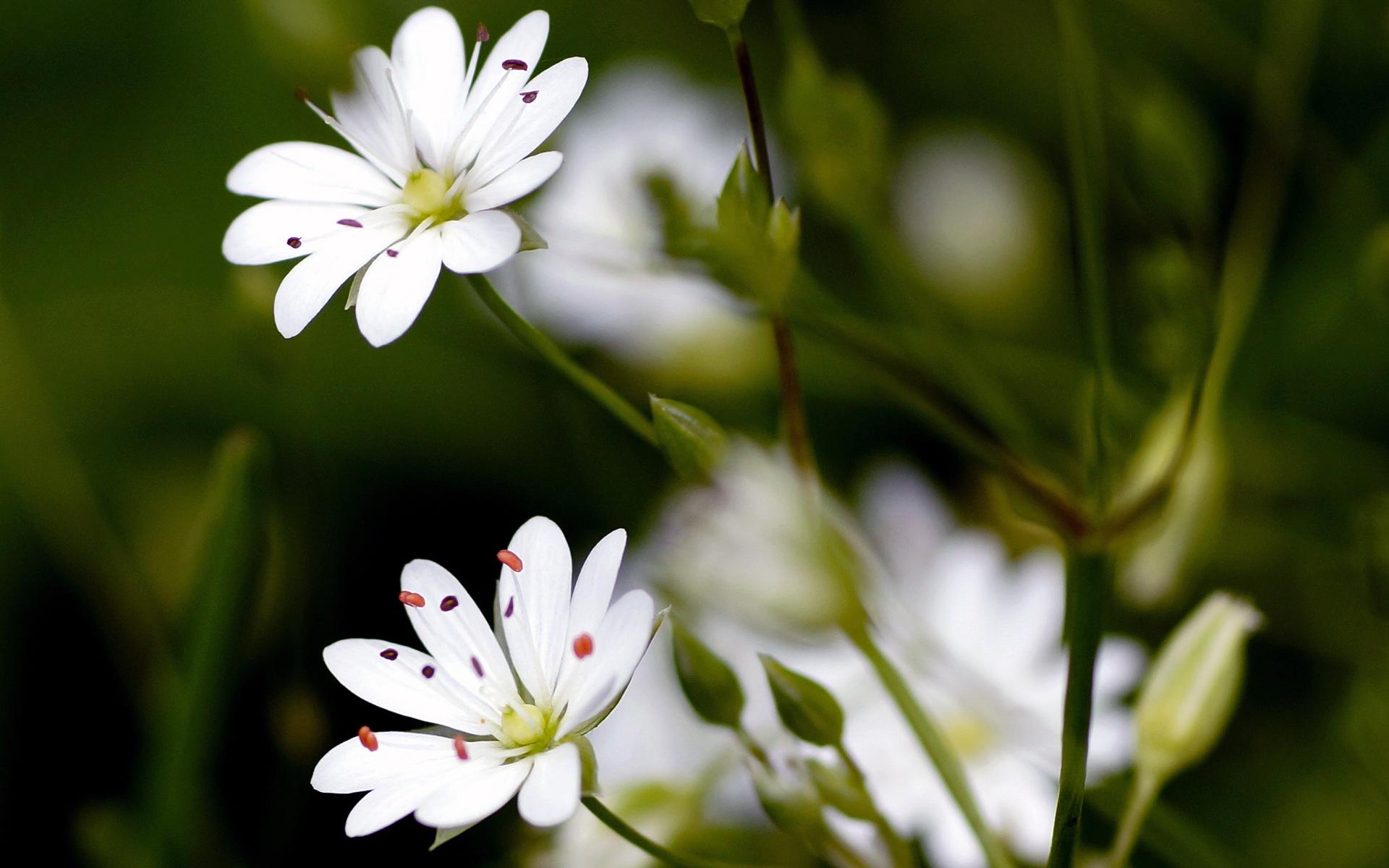 Stellaire à feuilles de graminée - Credit : Udo Schmidt - Flickr