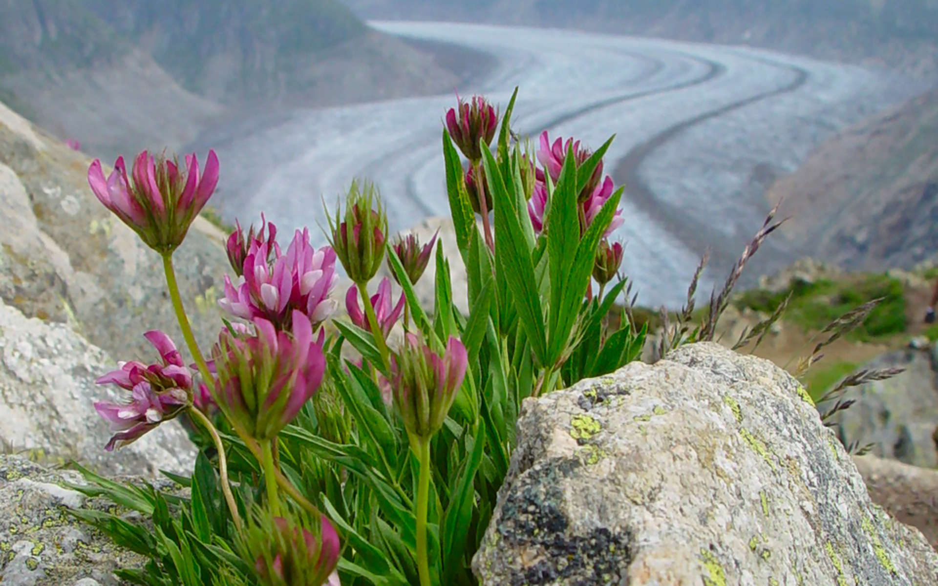 Trèfle des Alpes (Crédits: josef.stuefer - Flickr)