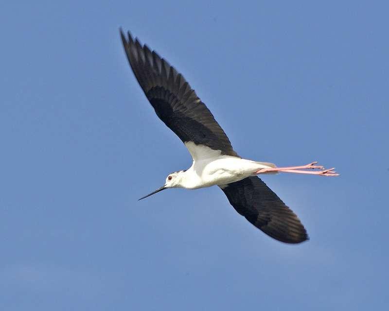 Échasse blanche en vol