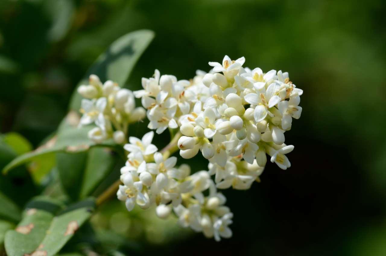 Troène commun - fleurs
