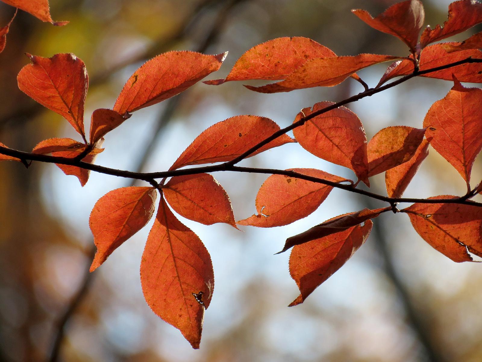Tupelo, feuilles d