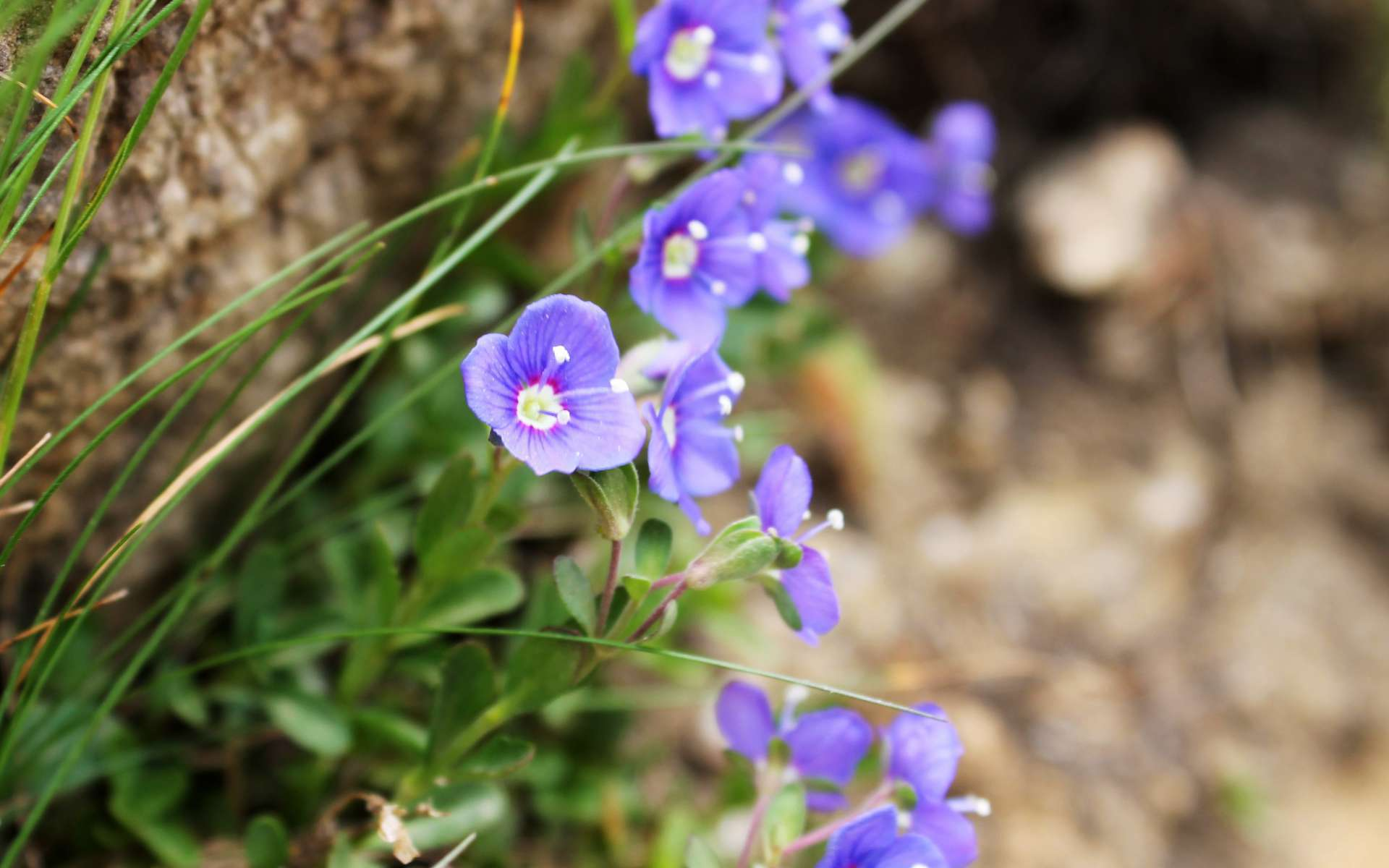 Véronique buissonnante - fleurs (Crédits : Léa Charbonnier)