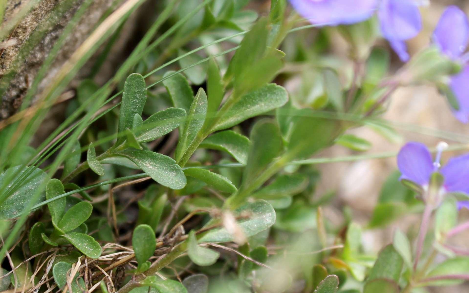 Véronique buissonnante - feuilles (Crédits : Léa Charbonnier)