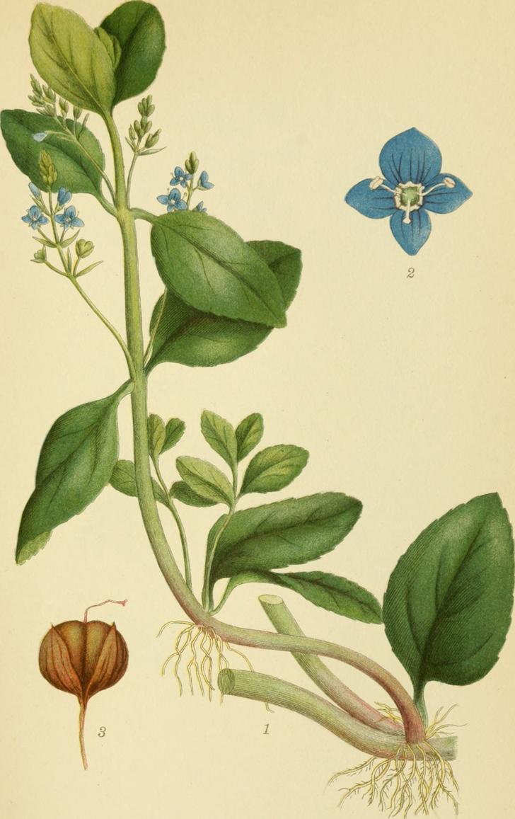 Véronique petit chêne (crédits Internet Archive Book Images)