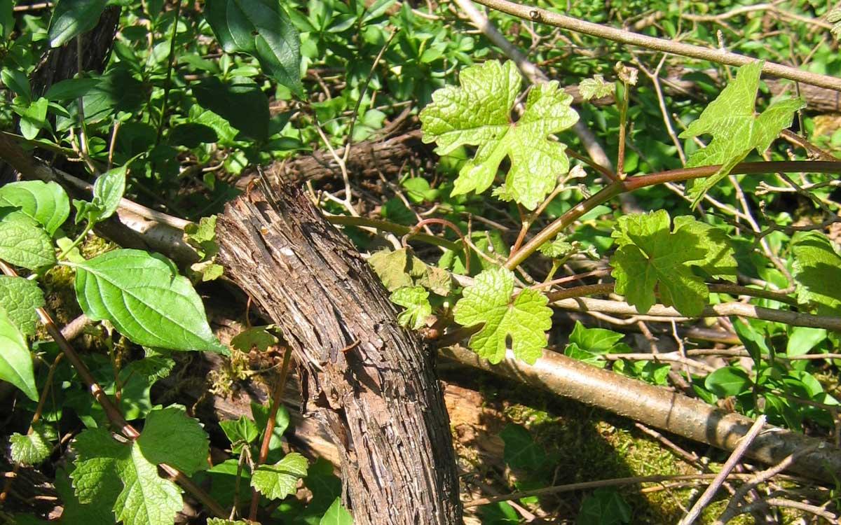 Vigne-Sauvage-credit-RNN-la-Bassée