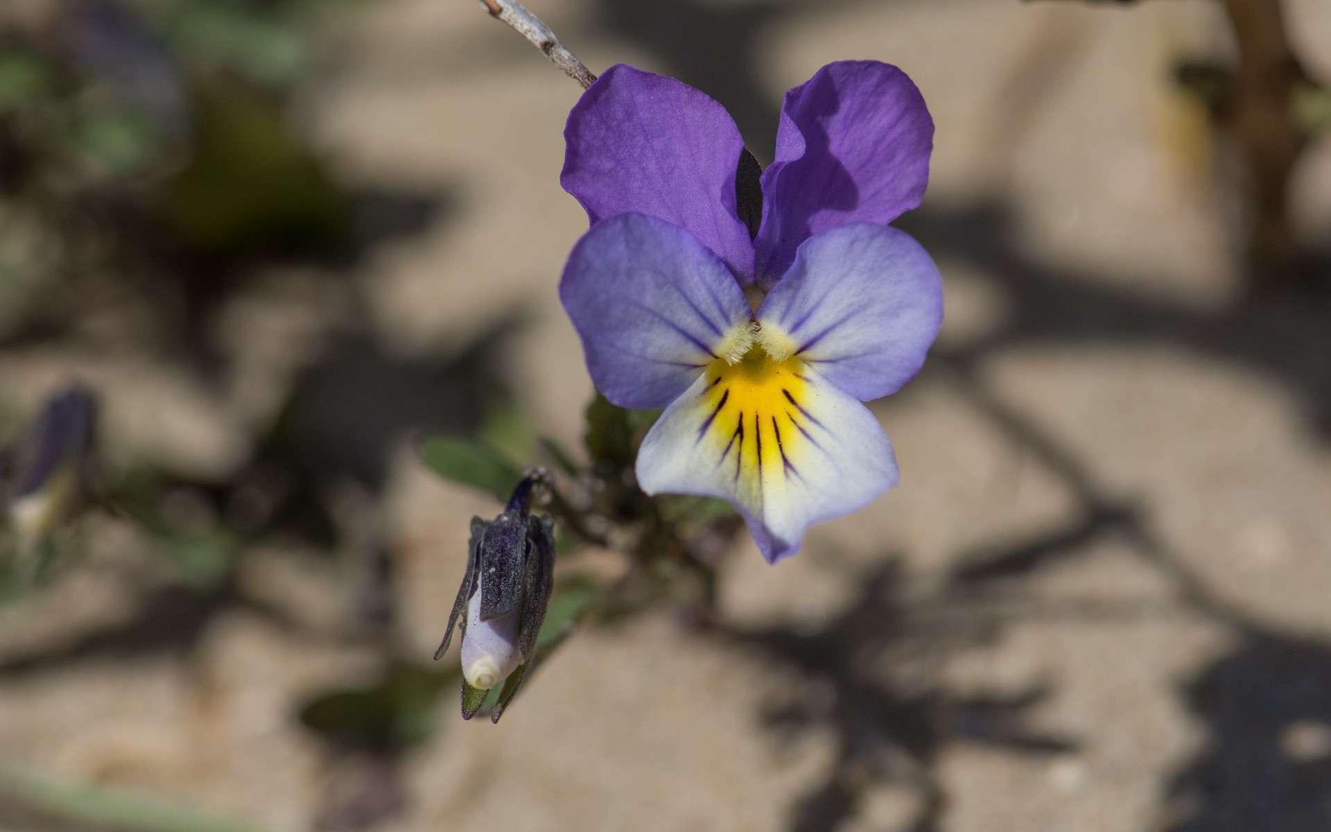 Violette de Curtis (Crédits : Jérôme Boisard)