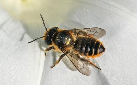 Megachile du rosier