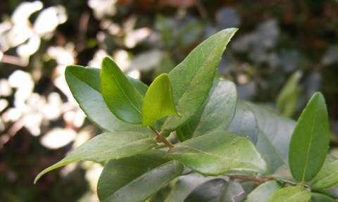 Filaire àlarges feuilles