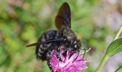 Abeille charpentière (Xylocope)