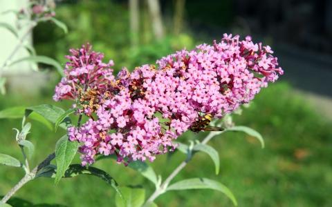 Buddleia de David, Arbre à papillons
