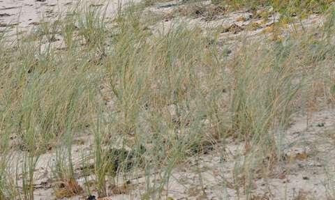 Chiendent des sables