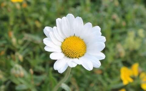 Marguerite commune