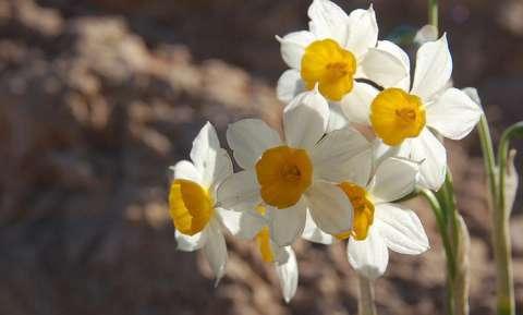 Narcisse à bouquet