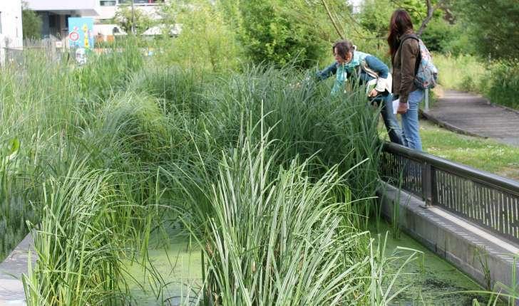 Marais à hélophytes dans le jardin central des Grands Moulins (Crédits : Léa Charbonnier