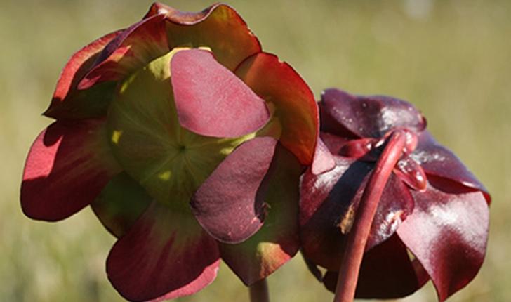 Sarracenia purpurea (L., 1753)