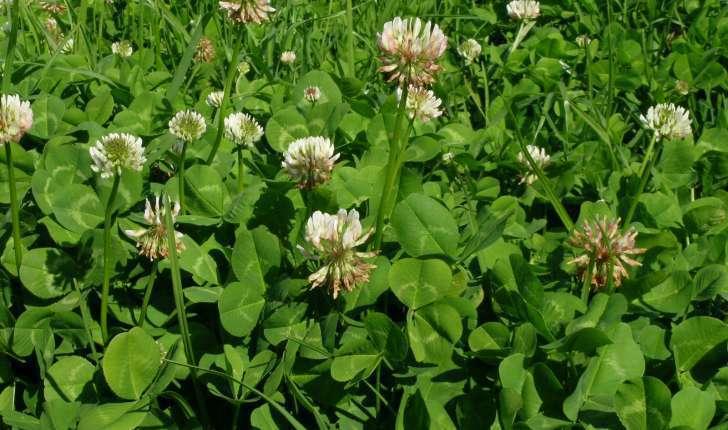Trifolium repens L., 1753