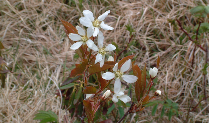 Amelanchier leavis (Wiegand, 1912)
