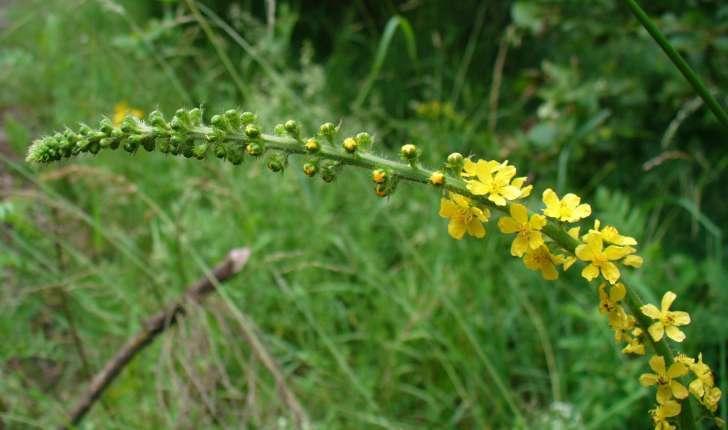 Agrimonia eupatoria (L., 1753)