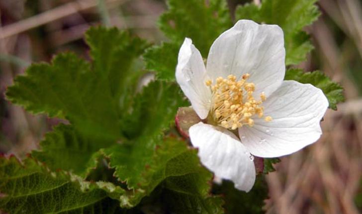 Rubus chamaemorus (L., 1753)