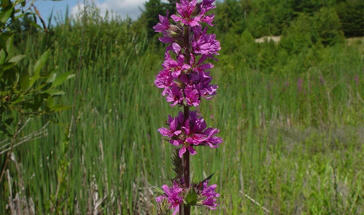 Lythrum salicaria (L., 1753)