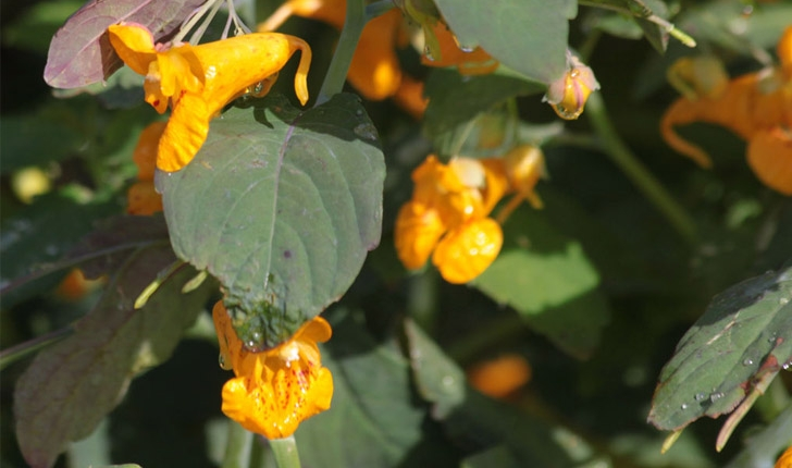 Impatiens capensis (Meerb., 1775)