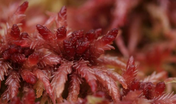 Sphagnum magellanicum