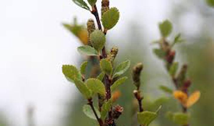 Betula pumila (L.1767)