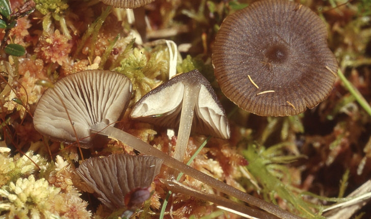 Tephrocybe palustris