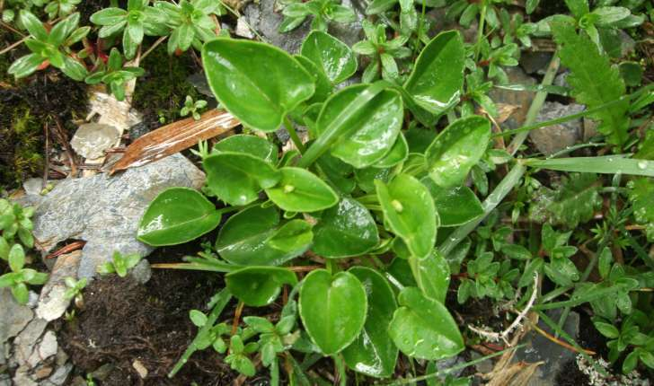 Parnassia palustris (L., 1753)