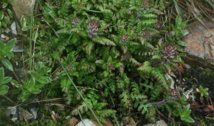 Pedicularis verticillata L., 1753