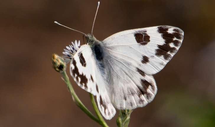 Pontia daplidice (Linnaeus, 1758)
