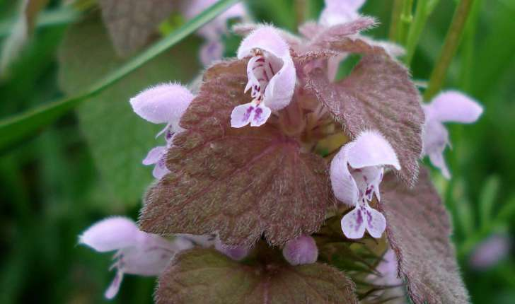 Lamium purpureum (L., 1753)
