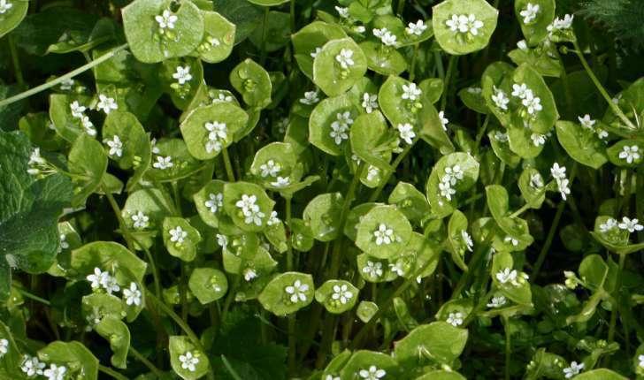 Claytonia perfoliata (Donn ex Willd., 1798)